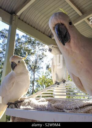 Cheeky and tame iconic native Australian yellow crested cockatoo birds saying g'day mate, feed me now - Stock Photo
