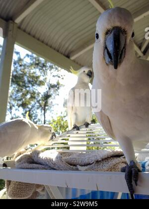 A flock of cheeky and classic tame native Australian yellow crested cockatoo birds visit the veranda and say g'day mate - Stock Photo