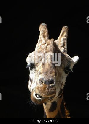 A giraffe chewing its cud standing in a doorway of the enclosure at the zoo. Which gives a black background from the darkness behind Stock Photo