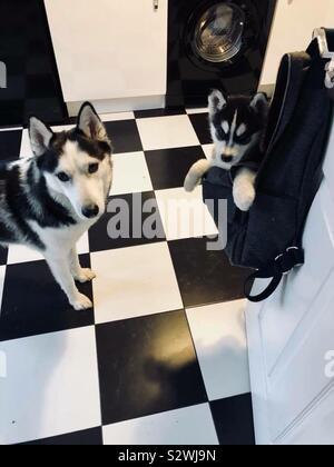 Husky sibling love - Stock Photo