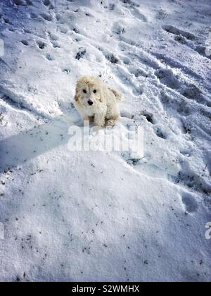 Cockapoo puppy sitting in the snow - Stock Photo