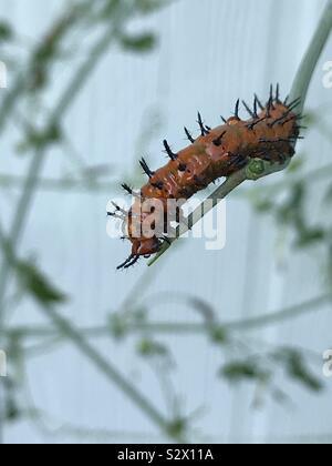 Gulf Fritillary caterpillar on a Passion flower vine. - Stock Photo