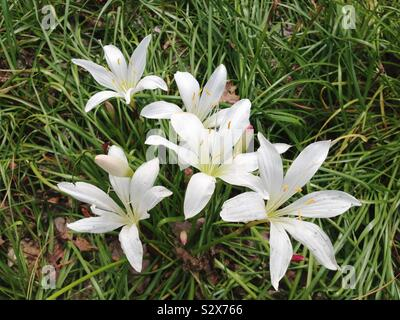 A bunch of white colored flowers called Atamasco Lily or Rain Lily are growing near the ocean in Myrtle Beach South Carolina. Zephyranthes atamasca are native to the southeastern United States. - Stock Photo