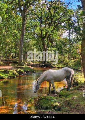 Pony drinking from Ober water stream at New Forest, Hampshire, England - Stock Photo