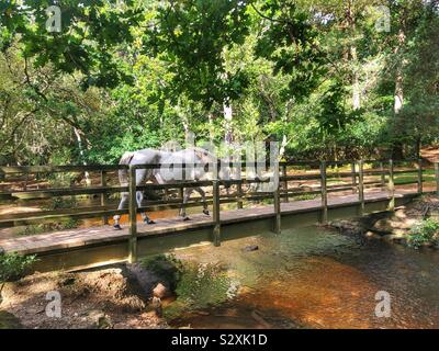 New Forest pony crossing bridge in the New Forest National Park - Stock Photo