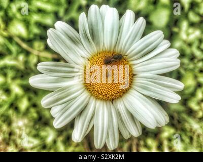 Ox-eye daisy flower, white petals with a yellow central disc and a solitary bee - Stock Photo