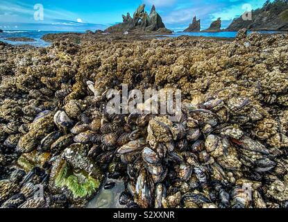 Bed of mussels in a cove protected by sea stacks in Shi Shi beach, Olympic National Park, Washington state, USA. - Stock Photo