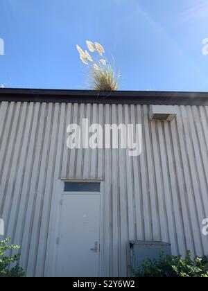 Flourish where you are planted! Native grasses grow on the roof of an industrial building. - Stock Photo