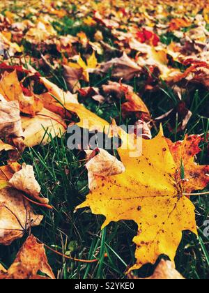 Closeup of yellow autumn maple leaf on ground with hundreds of leaves on the ground in the background