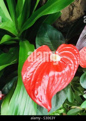 Flamingo flower, Red Anthurium andraeanum-calathea flower-Tail flower - Stock Photo