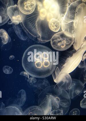 Jellyfish at Kamogawa Sea World, Chiba, Japan - Stock Photo