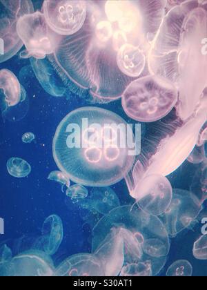 Jellyfish at Kamogawa Sea World, Chiba, Japan (colours changed) - Stock Photo