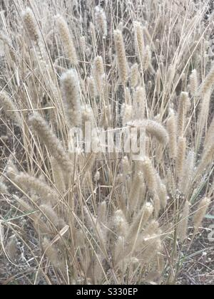 Nearer to my home in india found interesting dried shrubs - Feather reed grass aka Karl Foerster, golden grass so soft like feather , in a far view whole area found in sand colour, grass seed - Stock Photo