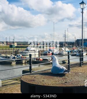 Seagull with bill wide open squawking at the marina in Maryport, Cumbria, England - Stock Photo