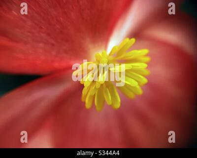 Macro of center of wax flower. Begonia semperflorens. - Stock Photo