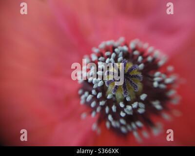 Macro of rough poppy. Papaver hybridum. - Stock Photo
