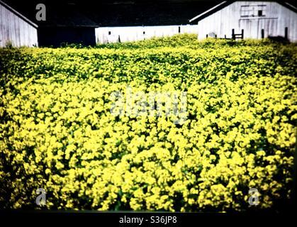 Bright yellow field rapeseed California farm