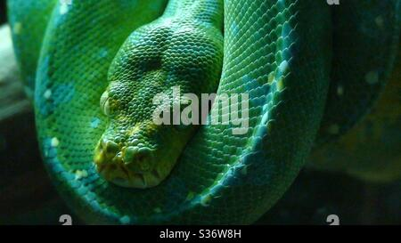 Green python snake (morelia viridis) comfortably coiled on a tree branch in a glass enclosure.species of the pythonidae family- - Stock Photo