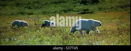Visit Churchill, Manitoba, travel Manitoba, polar bear, family, sow, two cubs, wildlife, wilderness, wilds, - Stock Photo