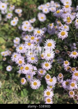 Erigeron glaucus, seaside daisy (fleabane) at Mottisfont