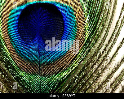 Close up of a single peacock feather on white background Stock Photo