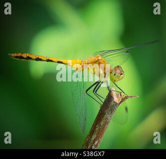 Female ruby meadowhawk dragonfly Stock Photo