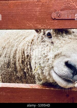 Sheep peeps through fence - Stock Photo
