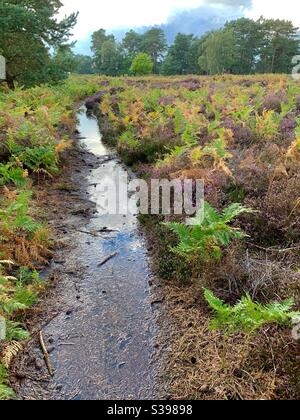 Sutton Heath, Woodbridge,Suffolk, UK - 28 August 2020: A colourful bracken carpet and a footpath turned into a stream after heavy rain. - Stock Photo