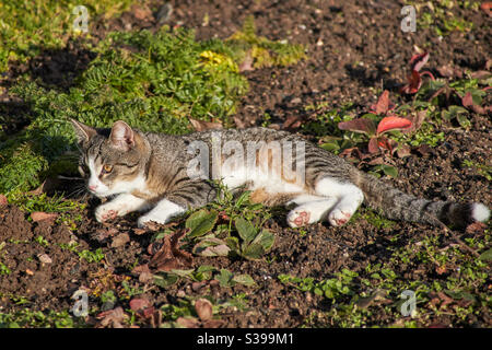 a grey beige mackerel cat with white paws, nose and tail tip rests in the field and lies in the sun. The pink bales of the paws are to be seen Stock Photo