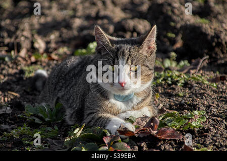 a grey tabby cat in portrait on a field. She looks directly into the camera, you can see the green eyes, the white nose and the fine drawing in the fur as well as a blue gps transmitter at the neck Stock Photo