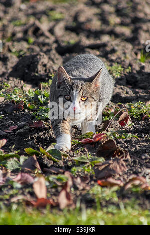 a grey tabby cat walks in a field directly towards the camera. She looks directly into the camera with her green glowing eyes Stock Photo
