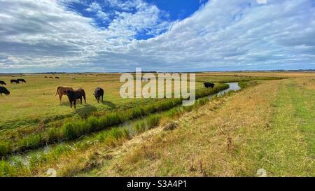 Cattle in open fields on farmland near Leysdown in Kent on a sunny afternoon
