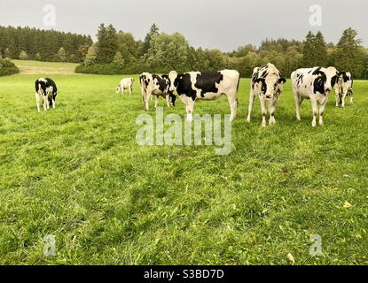 Small herd of black and white Holstein dairy cows on an organic farm