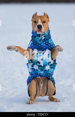 Pitbull, staffordshire terrier dog in winter clothes on a walk out of town in a snowy field - Stock Photo