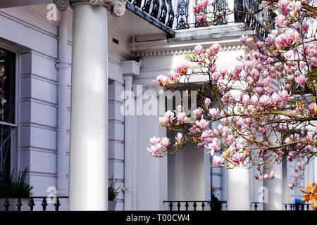 LONDON, UK - MARCH 11th, 2019: Magnolia tree is blooming in front of white building in Kensington are of London - Stock Photo