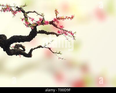 Peach Blossom in full bloom - Stock Photo