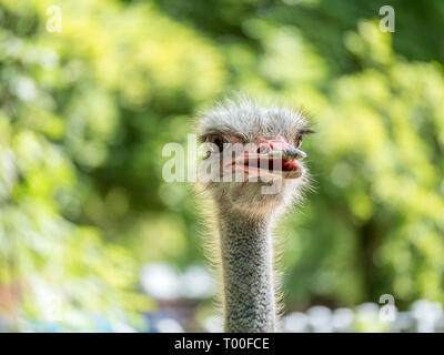 Close up image of the head of an ostrich with open mouth and green blurry background - Stock Photo