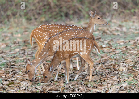 Chital (Axis axis) - also known as Spotted deer - in India - Stock Photo