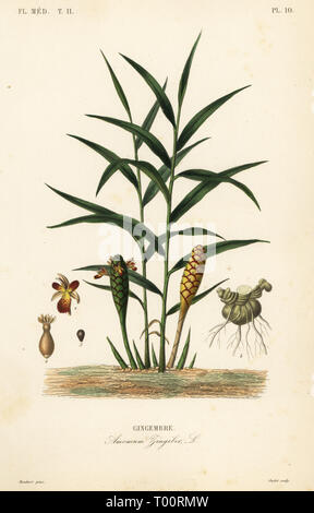 Ginger or ginger root, Zingiber officinale, Amomum zingiber, Gingembre. Handcoloured steel engraving by Oudet after a botanical illustration by Edouard Maubert from Pierre Oscar Reveil, A. Dupuis, Fr. Gerard and Francois Herincq's La Regne Vegetal: Flore Medicale, L. Guerin, Paris, 1864-1871. - Stock Photo