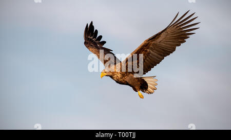 Adult white-tailed eagle, Haliaeetus albicilla, flying against sky with wings spread open looking down. Wild bird of prey in the air at sunset. - Stock Photo