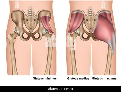 gluteus muscle anatomy 3d medical vector illustration on white background - Stock Photo