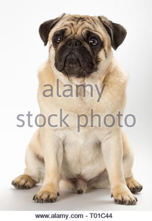 Pug dog breed, fawn colour. This dog breed originated in China around 2500 years ago. - Stock Photo