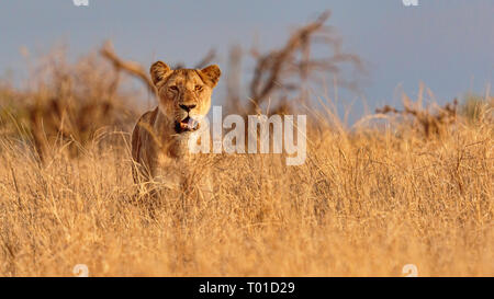 Single African lioness partly camouflaged and stood in high golden yellow grass looking forwards - Stock Photo