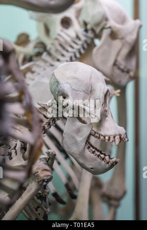 Human skull on a skeleton on display in a natural history museum - Stock Photo