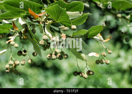 Fruits of largeleaf linden. Tilia fruit - Stock Photo