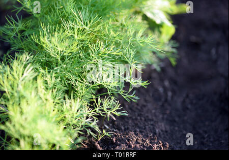 Closeup image of organic dill growing in a garden in a line with shallow depth of field - Stock Photo