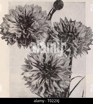 Dreer's garden book for 1940 . dreersgardenbook1940henr Year: 1940  Dreer's Reliable FLOWER SEEDS Cenfaurea-corny^ owers ® & iU These are among the most popular of all garden flowers. They are easy to grow, blooming profusely and yielding many splendid blooms for cutting. The Basket Flower, Americana, and Royal Sweet Sultans deserve the gardener's particular attention. Besides the well- known annual varieties there are some splendid hardy ones. Dreer's Ultra Double Centaurea cyanus (a) This superb new strain is the last word In Cornflowers. The blooms not only are considerably more double but  - Stock Photo