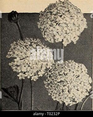 Dreer's garden book for 1941 . dreersgardenbook1941henr Year: 1941  Didiscus—Blue Lace Flower DidlSCUS Blue Lace Flower ® 2311 Coeruleus. Showy, lacy, light lavender flower heads borne profusely from July to frost. For borders and cutting. 18 inches. Pkt. 10c; large pkt. 30c. Digitalis—Foxglove ® ® Handsome biennials producing stately flower spikes during June. Splendid for naturalizing and most successful in semi- shade. The plants grow from 3 to 5 feet tall. Gloxiniaeflora 2315 Isabellina. Yellow.. . Any color: 2317 Purple ( Pkt. 10c; 2318 Rose ( large pkt. 2319 White / 30c. 2321 Giant Shir - Stock Photo