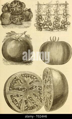Dreer's garden calendar : 1883 . dreersgardencale1883henr Year: 1883  DREEA'S GARDE A CALENDAR. '65    i and 2 Dkeek's Selected Thophy Tomato. 3 Livingston's Perfection Tomato 4 Kakly Paragon Tomat Earlh Acmi T( - Stock Photo