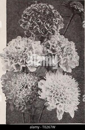 Dreer's garden book for 1940 . dreersgardenbook1940henr Year: 1940  Dreer's Reliable FLOWER SEEDS    Large-Flowering Scabiosa Mixed - Stock Photo